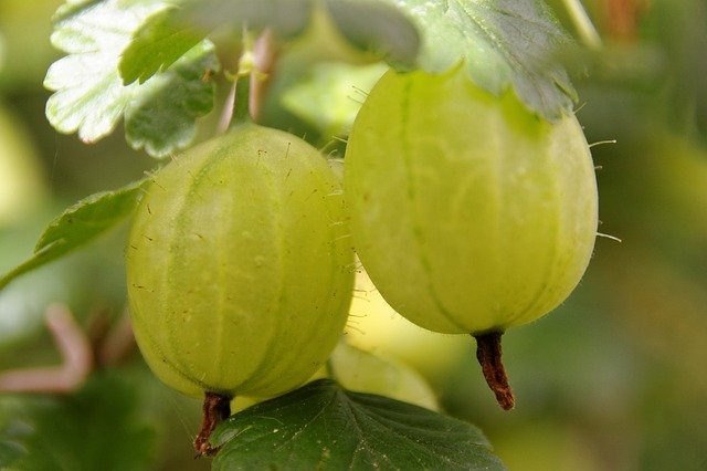 Gooseberries in a close up photo